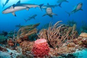 sharks on reef