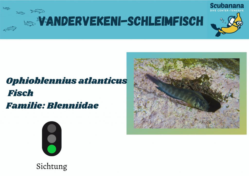 Vandervekeni-Schleimfisch
