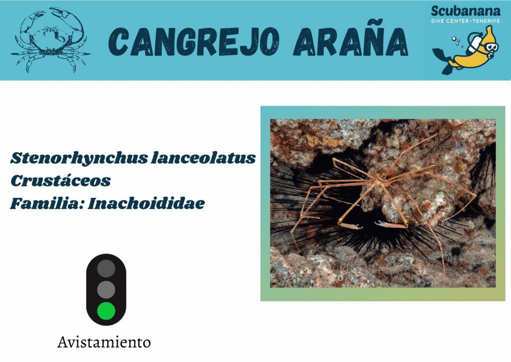 cangrejo arana