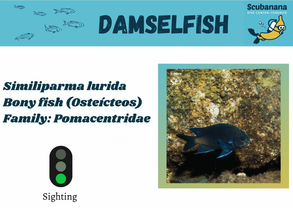 Damselfish