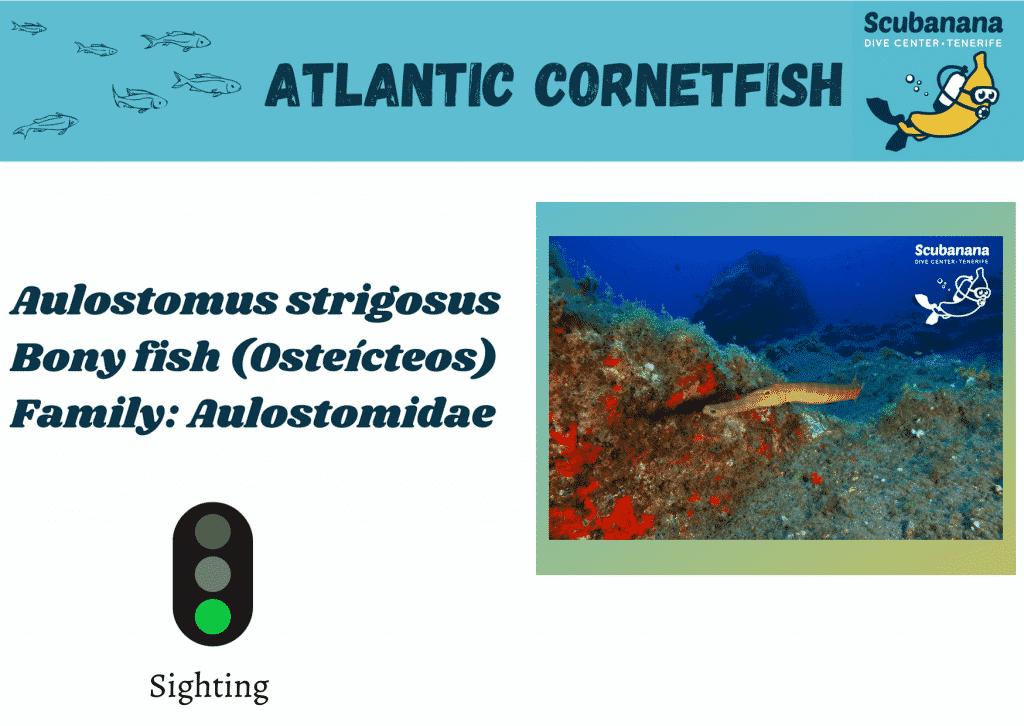atlantic cornetfish