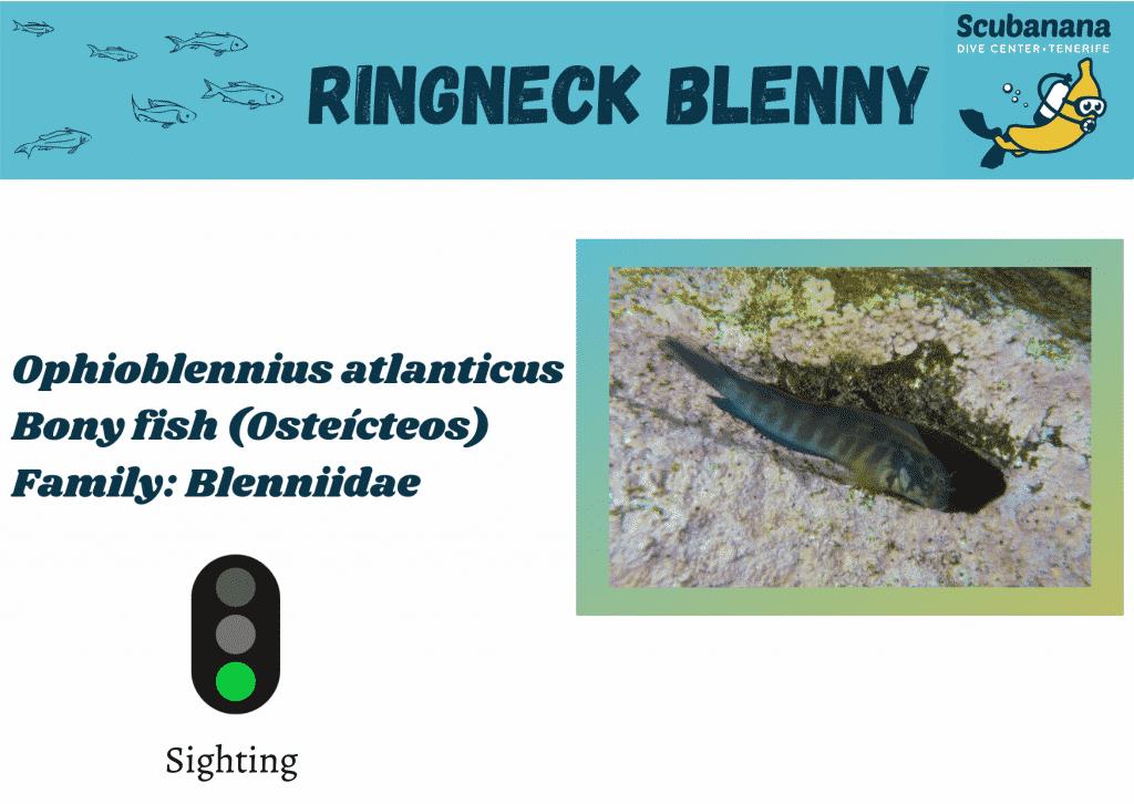 ringneck blenny